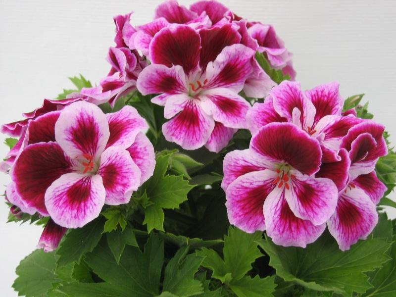 Cvijeće koje cvjeta cijelo ljeto – pelargonija  Uredite Dom