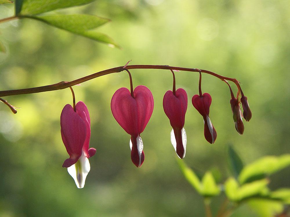 Biljke koje cvjetaju i u hladu  Uredite Dom