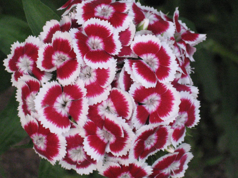 Cvijeće koje cvjeta cijelo ljeto – turski karanfil  Uredite Dom