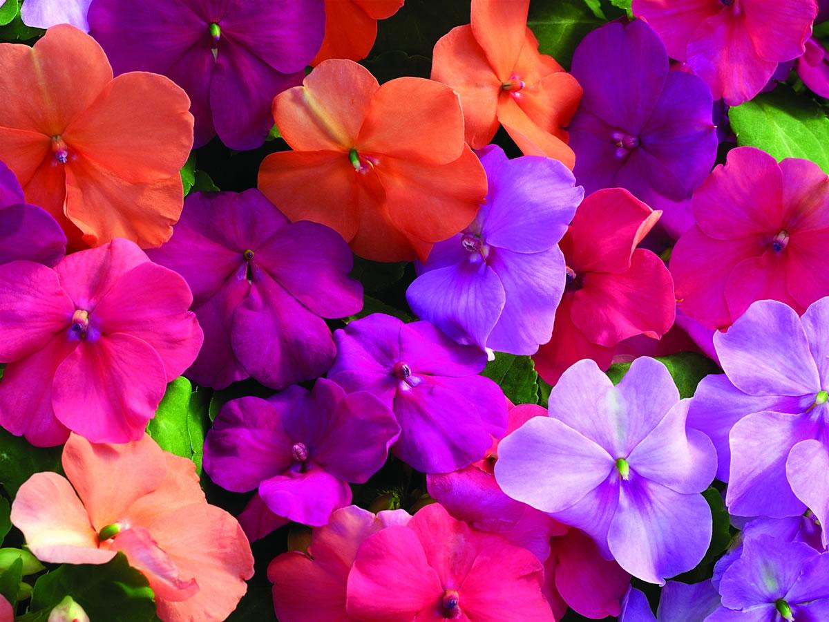 Cvijeće koje cvjeta cijelo ljeto – impatiens  Uredite Dom