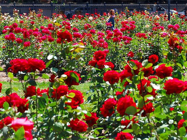 Ruže, kraljice vrta  Uredite Dom