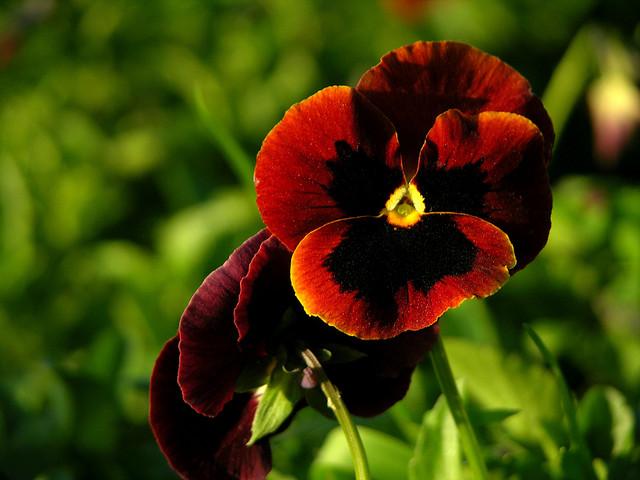 Dan i noć, maćuhica, viola tricolor, za šaren vrt zimi  Uredite Dom