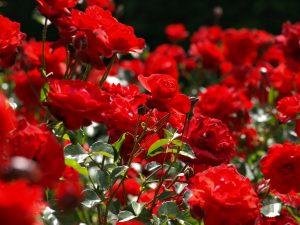 Tehnika savijanja ruža za ruže bogate cvjetovima  Uredite Dom