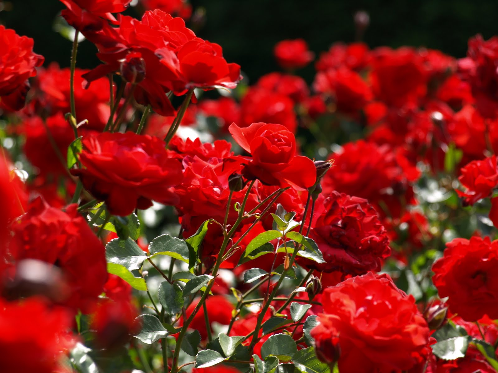Priprema ruža za zimu  Uredite Dom