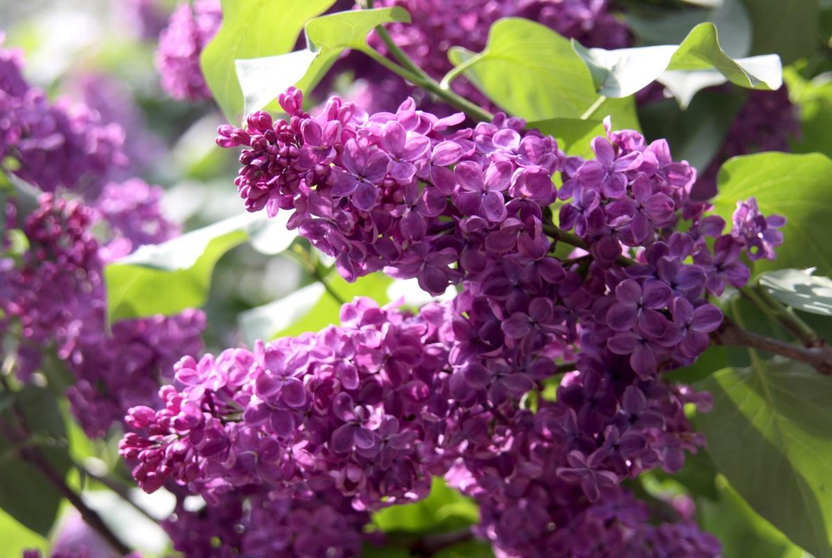 Najljepše grmlje koje cvjeta u proljeće – drugi dio  Uredite Dom