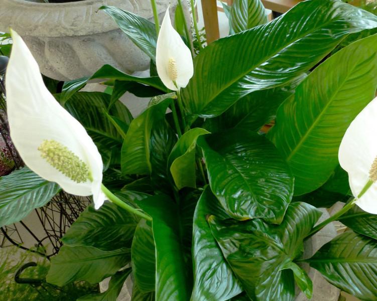 Savjeti za uspješan uzgoj Spatifiluma (Spathiphyllum)  Uredite Dom