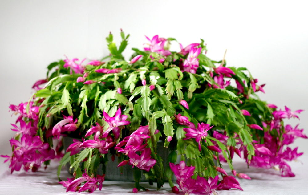Božićni kaktus, decembar ili Schlumbergera truncata  Uredite Dom