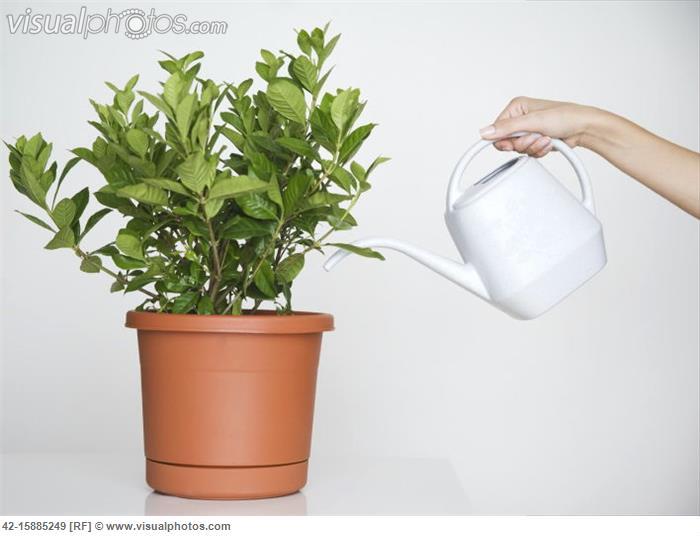 Kako, čim i koliko često zalijevati sobne biljke  Uredite Dom