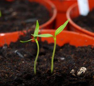 Uzgoj rasade / presadnica bez greške – prvi dio  Uredite Dom
