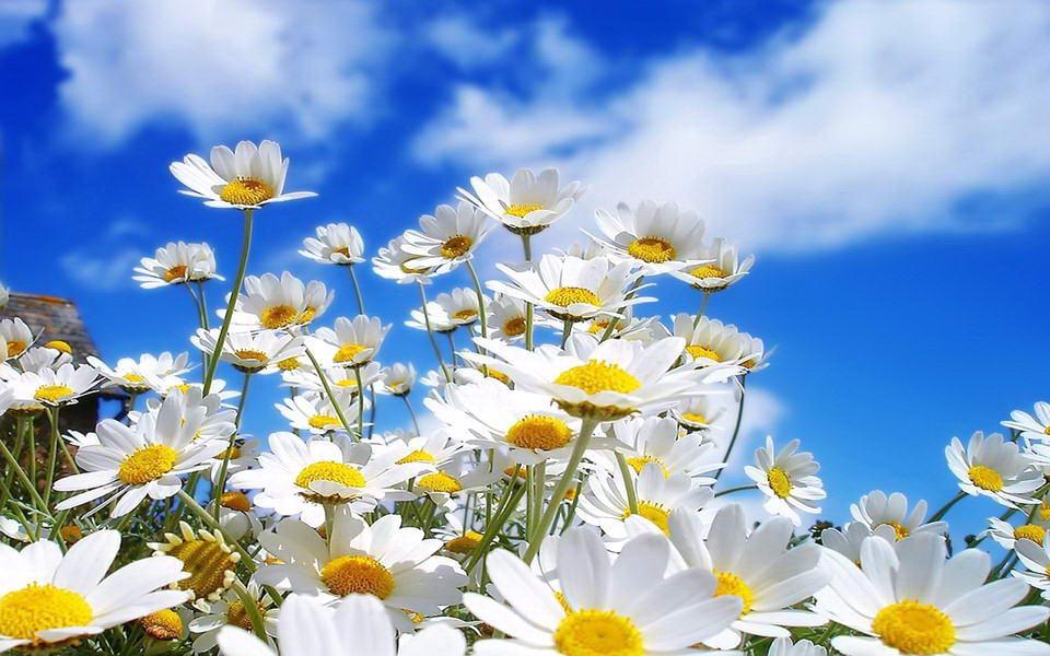 Tratinčica ili bijela rada – cvijeće za svaki vrt  Uredite Dom
