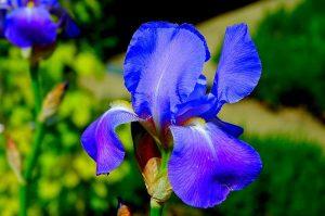 Sadnja lukovica cvijeća u jesen  Uredite Dom