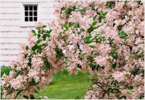 cvetajuce grmlje6