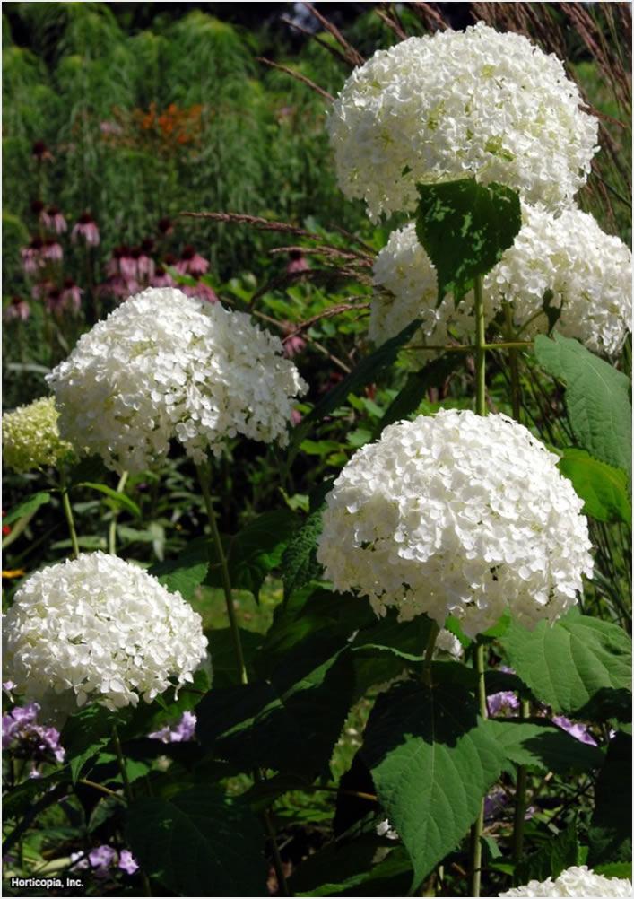 10 savjeta za uspješan uzgoj hortnezija ili Hydrangea  Uredite Dom