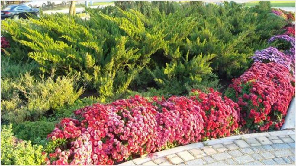 Jesenje presađivanje krizanteme u vrt  Uredite Dom