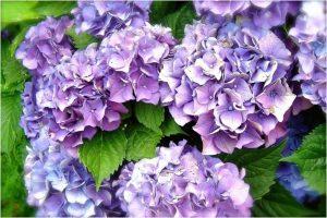 Hortenzija ili hydrangea, cvijeće ljeta  Uredite Dom