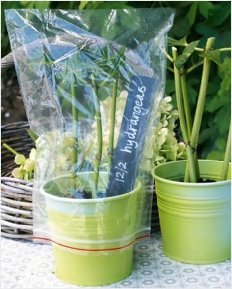 Razmnožavanje hortenzija reznicama (vegetativno)  Uredite Dom