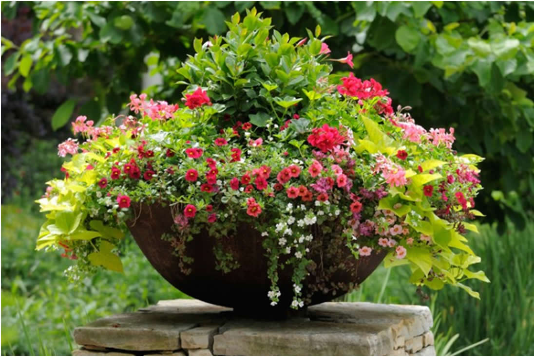 Thriller biljke, zvijezde svake saksije  Uredite Dom