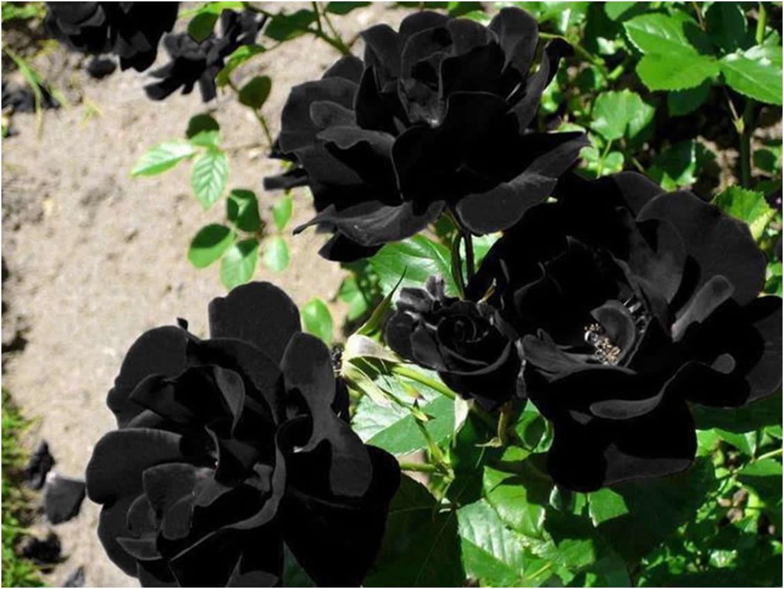 Ruže koje cvjetaju crnim cvjetovima, Halfeti  Uredite Dom