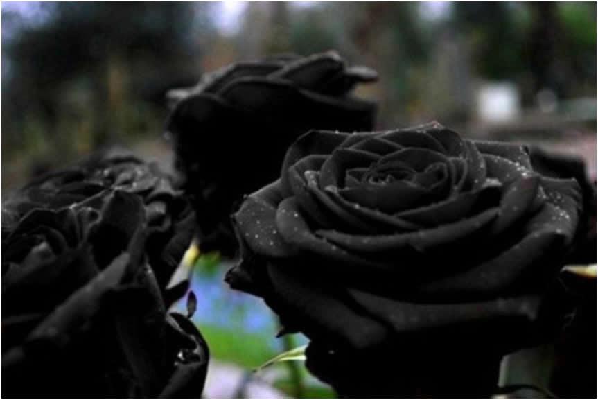 crna ruza halfeti1