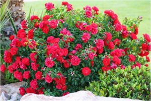 Razmnožavanje ruža reznicama  Uredite Dom